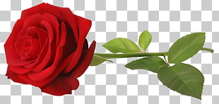 rote Rose mit Stiel, rote Rose Blume PNG Clipart