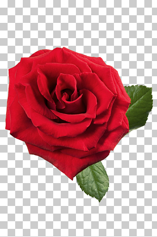 rote Rose, rote Rose, große rote Rose PNG Clipart