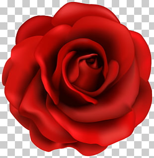 Rose Blume, rote Rose Blume, rote Rose Abbildung PNG Clipart