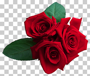rote Rosen, Rose, rote Rosen PNG Clipart